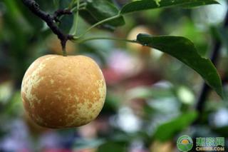 梨褐斑病病发规律及防治