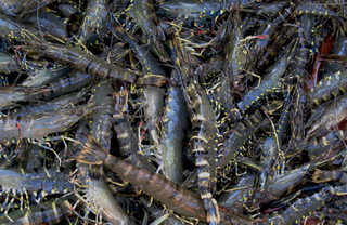 斑节对虾的病害防治
