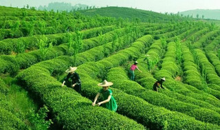 景宁惠明茶