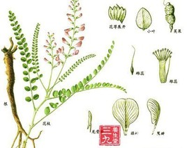 红花岩黄芪的功效与作用