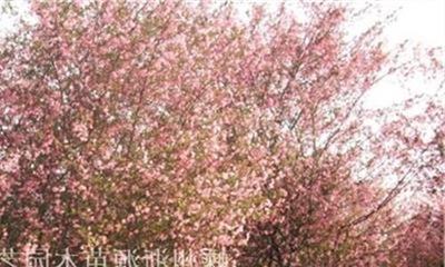 紫花海棠花期是什么时候?海棠的花期有多久?