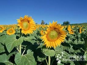 十堰房县引进优质油用向日葵