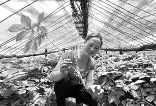 陕西黄龙:500亩丹参催生林下经济红利