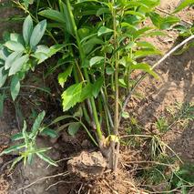 如何种植连翘?连翘的栽种方法