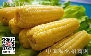 玉米宽行撮苗种植法种植要点