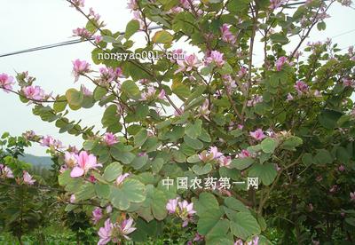 宫粉紫荆虫害防治技术