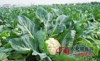 有机花椰菜种植措施