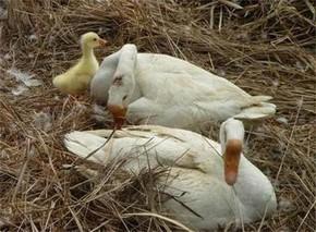 母鹅停产期粗饲利开产