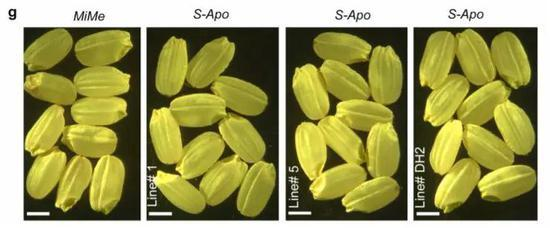 基因改造让水稻实现无性繁殖