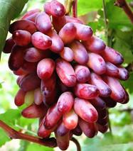 """广东:葡萄里吃出玫瑰香 你还在乎""""极速5分排列3水果自由""""么?"""
