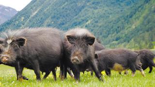 院企合作推进藏香猪产业
