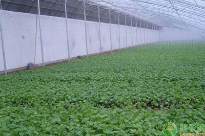 大棚极速5分排列3蔬菜如何浇水 注意浇水的事项