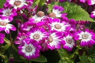 观赏菊放在屋里可以吗?菊花能种在室内吗?