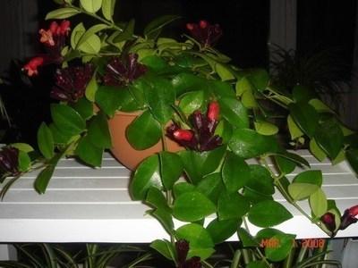吊兰类的植物有哪些?吊兰哪个品种最漂亮?