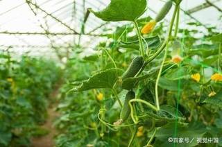 塑料大棚秋黄瓜品种应该如何选择?