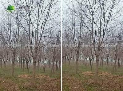 乌桕树移栽注意事项