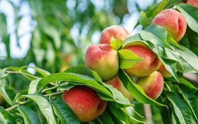 桃树怎么嫁接?桃树的嫁接时间和方法