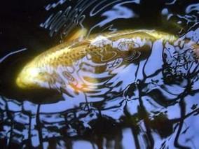 南海黄河鲤鱼