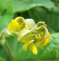 绿豆花的功效与作用