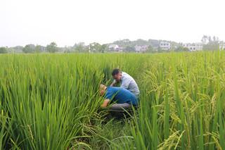 专家提醒:抓好晚稻破口抽穗期病虫害防治