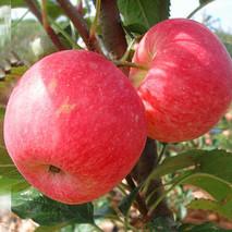 """苹果""""心里甜""""是病别轻视"""