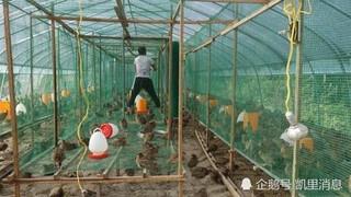 贵州丹寨县七彩山鸡托起脱贫攻坚多彩之路