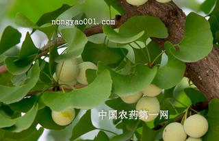 专家提醒:银杏常见病虫害及防治