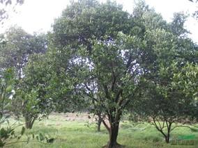 胡柚树遭了虫害 怎么办