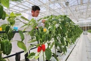 荷兰玻璃温室的蔬菜种植