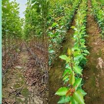 彩叶豆梨种植技术