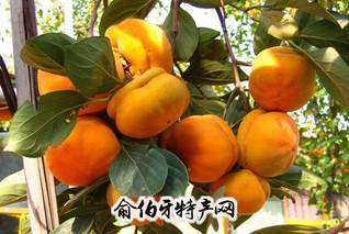 马泉沟水化柿