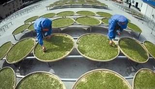 祁门红茶的采制加工