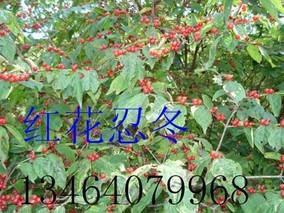 红花忍冬的养殖方法