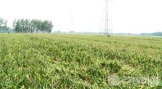 徐州市邳州市60万亩大蒜喜获丰收