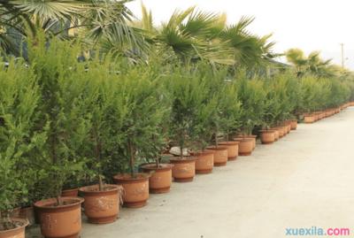 红豆杉的养护及注意事项
