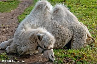 骆驼蹄草的功效与作用