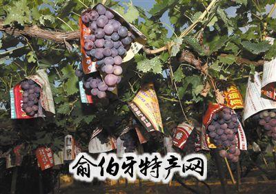 延怀河谷葡萄