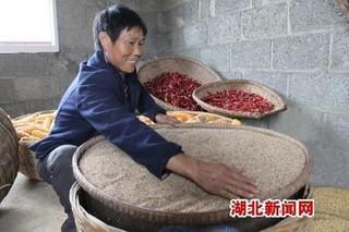 种植甜高粱 效益节节高