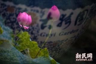 第七届上海荷花睡莲展周五开幕