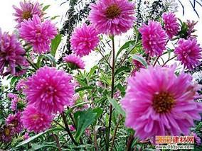 菊花常见虫害