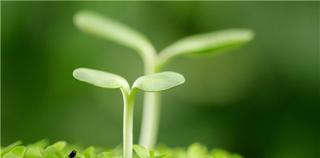 中科院开发微生物菌肥助姜增收