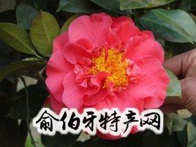 香港茶花(红山茶)