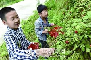 金华磐安采摘人工栽培的覆盆子