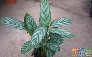 飞羽竹芋怎么养?飞羽竹芋的养殖方法和注意事项