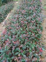 红花继木冬季移栽好吗