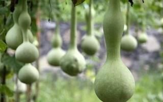 葫芦几月份种植?葫芦的种植方法