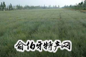 十三边麻黄草