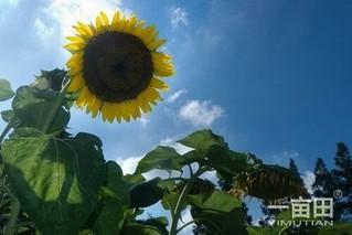 五原向日葵