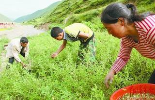 黄芪种子处理方法