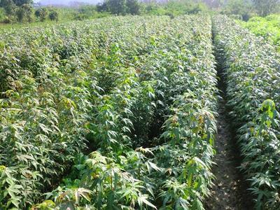 八月桂扦插种植技术